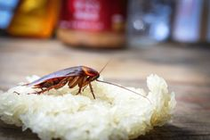 While many species of cockroaches have wings, most of them cannot fly. Some species, including American cockroaches, can fly very short distances. Keep Bugs Away, Bait Trap, Roaches, Garden Club, Pest Control, Rid, Insects, Indoor, Interior