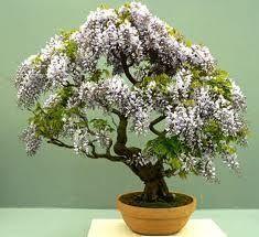Bonsai Plant Care hougen68
