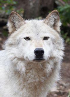 White WolfPortrait