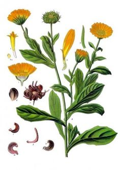 Calendula is one of the amazing botanicals that infuses our natural skincare blends. Calendula is ideal for all skin types, especially hormonal acne. Healing Herbs, Medicinal Plants, Botanical Drawings, Botanical Prints, Illustration Botanique, Plantation, Hibiscus, Herbalism, Plant Leaves