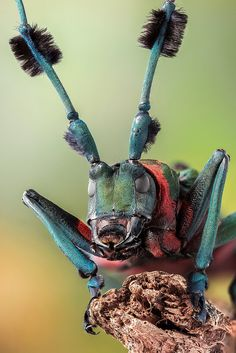 Diastocera Wallichii Facial by Andre de Kesel Weird Insects, Cool Insects, Bugs And Insects, Beautiful Creatures, Animals Beautiful, Insect Photography, Travel Photography, Cool Bugs, Macro And Micro