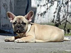Mozart French Bulldog male puppy Owners: Bosphorus Bulls Kennel and Turkbulls Kennel Türkiye,Istanbul Facebook/Bosphorus Bulls