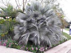 Mexican Blue Palm ( Brahea armata) 6 Seeds