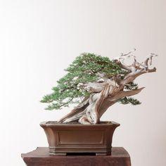 Rocky Mountain Juniper No. 10 | Bonsai Mirai #bonsaitrees