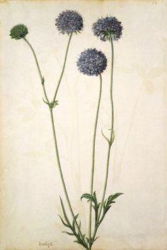 Field Scabiosa, by Jacques Le Moyne de Morgues