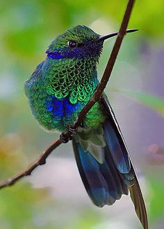 Colibri Humming Bird - photo by Sean Johnstone. Kinds Of Birds, All Birds, Little Birds, Love Birds, Pretty Birds, Beautiful Birds, Animals Beautiful, Cute Animals, Beautiful Pictures
