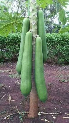 Easy Tips on Growing the Exotic Papaya Trees from the Seeds - GoWritter Fruit Plants, Fruit Garden, Edible Garden, Fruit Trees, Cactus Plants, Unusual Plants, Exotic Plants, Papaya Tree, Strange Fruit