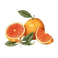 Hand drawn sketch of oranges | premium image by rawpixel.com
