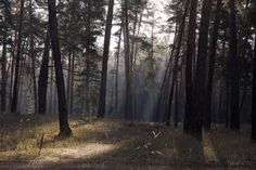 Morning in the pine forest