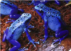 Facts About Blue Poison Dart Frogs