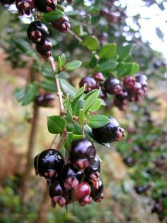 Arrayan Macho (Raphitamnus spinosus) is a small tree native to Chile producing round,dark purple edible fruits Fruit Plus, Fruit And Veg, Fruits And Veggies, Exotic Fruit, Tropical Fruits, Exotic Plants, Fruit Flowers, Edible Flowers, Fruit Trees