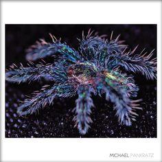 beautiful tarantula