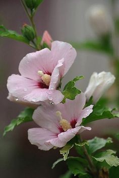 Hibiscus rose/Rose of Sharon All Flowers, Flowers Nature, Exotic Flowers, Amazing Flowers, My Flower, Flower Power, Beautiful Flowers, Hibiscus Rose, Flower Pictures