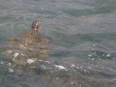Sea turtles playing in the waves.