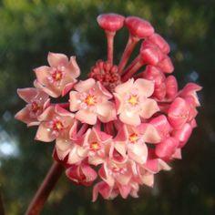 Hoya aff. latifolia IML 1410 [3180x] - $0.00 : Buy Hoya Plants Online in Many Species from SRQ Hoyas Today!