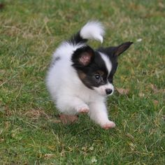 papillon dog | Week old Papillon Puppies