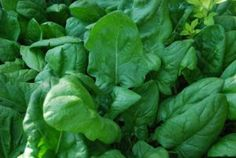 English Spinach fact sheet