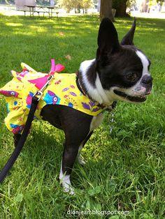 Cute little Boston terrier in a dress