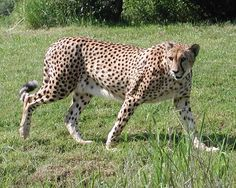 Cheetah Photo:  This Photo was uploaded by schaef1971. Find other Cheetah pictures and photos or upload your own with Photobucket free image and video ho...