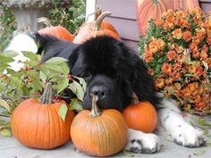 This Newfie is looking forward to Fall!