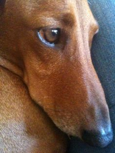 Love the soulful eyes of a dachshund