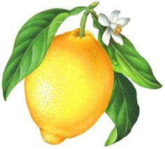Whole lemon with leaves and lemon flower