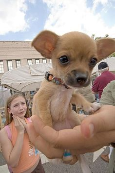 Girl d'awwing over baby chihuahua - Imgur #dogs #animal #chihuahua
