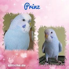Der kleine Prinz - Wellensittich Forum und Galerie fuer Wellensittich-Freunde Parrot, Bird, Animals, Budgies, The Petit Prince, Friends, Parrot Bird, Animales, Animaux