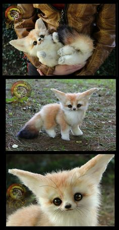 "5 DAY eBay Auction Adoption----> www.ebay.com/itm/-/13162729909…? Meet:  ""Mumble!"" The Baby Fennec Fox! This 100% handmade, fully poseable ADORABLE Baby Fennec fox &nb..."