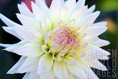Dahlia 'Ruskin Bride': semi-cactus