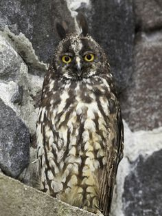 Stygian Owl (Asio Stygius), South America, and Parts of Central America by David Fleetham
