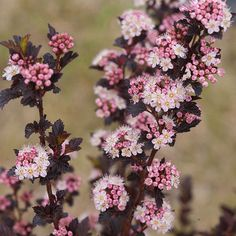 Name: Physocarpus opulifolius 'Tiny Wine' Growing Conditions: Sun Size: 3–4 feet tall and wide Zones: 3–7 Source: Proven Winners