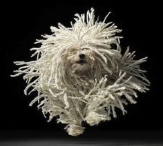 Meet the Puli – a breed of Hungarian herding dog famous for its long curly coat that looks like dreadlocks! They seem like they would be slow and clumsy, but they're actually quite athletic! They like wide open spaces for running around, and that's where the fun comes in! Big hair plus jumping equals CRAZY PICTURES!