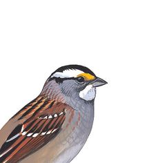 White-throated Sparrow, white-striped form. Painted and © by David Sibley