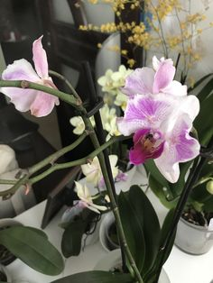 ID 013 - Phal Hybrid butterfly purple and white - OBI Jan 2018