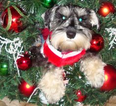 Miniature Schnauzer puppies in Georgia Tennessee Alabama   ...........click here to find out more     http://googydog.com