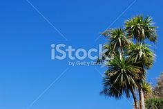 Cabbage Tree (Cordyline Australis), New Zealand Royalty Free Stock Photo Abel Tasman National Park, New Zealand Landscape, Tree Images, Kiwiana, Image Now, Cabbage, National Parks, Royalty Free Stock Photos, Holiday