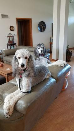Gilda & Hazel Dog Dye, Silver Poodle, Rare Dogs, Poodle Cuts, White Puppies, Standard Poodles, Animal Species, I Love Dogs, Yorkie