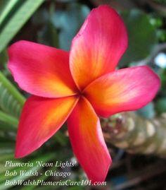 Plumeria 'Neon Lights'