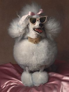 What breed is more fashionable than the Poodle, huh? (insert laughing out loud)