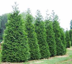 Thuja x plicata 'Green Giant'. The 'Green Giant' arborvitae is a large, vigorous, fast growing evergreen. It's natural pyramidal to conical form boasts dense, rich green foliage that darkens or bronzes only a little in the winter. Green Giant Tree, Green Giant Arborvitae, Arborvitae Tree, Emerald Green Arborvitae, Large Backyard Landscaping, Privacy Landscaping, Landscaping Ideas, Backyard Ideas, Outdoor Ideas