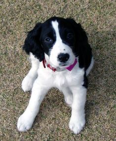 English springer spaniel black and white puppy, Lexie