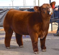 Tomahawk Chop Matt Lautner Cattle: Bred by Justin and Cody Webb Precious! Cute Baby Cow, Baby Cows, Cute Cows, Cute Baby Animals, Farm Animals, Wild Animals, Baby Elephants, Livestock Judging, Showing Livestock