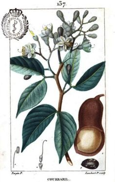 Painting of locust tree flowers, leaves, pod and seed.  From Flore médicale, Volume 4, by François Pierre Chaumeton, Jean Louis Marie Poiret, and Jean Baptist Joseph Anne César Tyrbas de Chamberet. Published by Panckoucke, 1816 (on Google Books, original from the Complutense University of Madrid)
