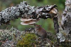 Northern Canada, Mushroom Fungi, Animal Portraits, Hamsters, Art Background, Wildlife Art, Mice, Rats, Finland