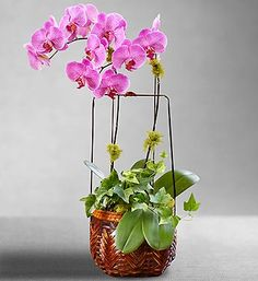 Balinese Orchid Basket- Two stems of candy-striped Phalaenopsis, variegated ivy and a soft covering of reindeer moss $99.99 #orchids #flowers #plants
