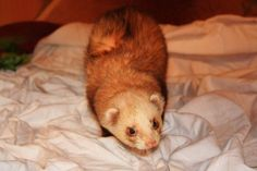 "Nadine Dinsthler Ferrets can be smelly animals! But you are in luck. It is possible to alleviate that smell! I have two ferrets of my own. Two litters boxes in a 4 story cage. People come over all the time and comment, ""Don't ferrets stink? Ferrets Care, Baby Ferrets, Cute Ferrets, Hamsters, Ferret Toys, Pet Ferret, Dog Cat, Angora Ferret, Bunny Cages"