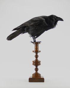Taxidermy Raven