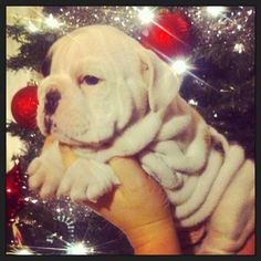 Baggy Bulldogs... I WANT THIS UNDER MY TREEEEEEEE