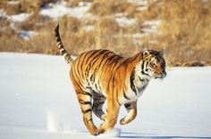 National Geographic Kids | 10 Tiger Facts